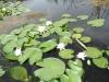 Драгоманско блато - красиви водни лилии